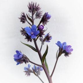 anchusa-black-shed-flowers.jpg