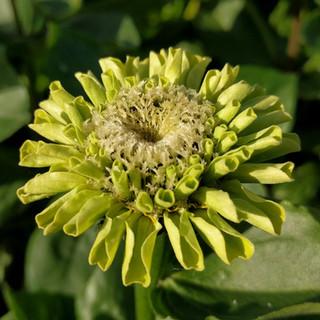 zinnia-green-black-shed-flowers.jpg