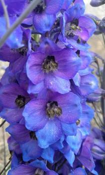 blue-delphinium-black-shed-flowers-2.jpg