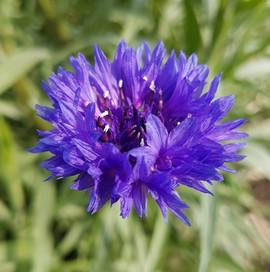 cornflower-black-shed-flowers.jpg