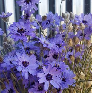 catanache-black-shed-flowers.jpg