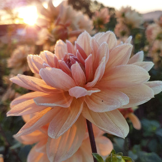 Frost and the Dahlias