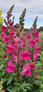 hot-pink-antirrhinum-black-shed-flowers.
