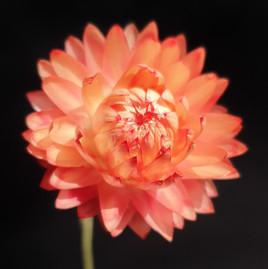 helichrysum-black-shed-flowers