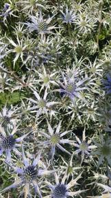 eryngium-black-shed-flowers.jpg