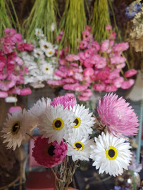 acroclinum-black-shed-dried-flowers.jpg