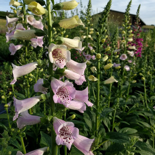 mixed-foxgloves-black-shed-flowers.jpg