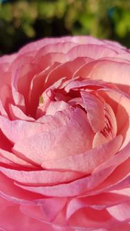 pink-ranunculus-black-shed.jpg