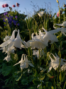 white-aquilegia-black-shed-flowers.jpg