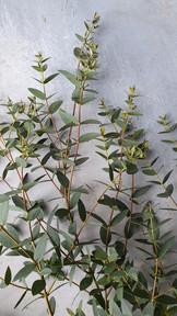 black-shed-eucalyptus-7.jpg