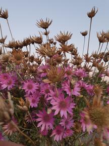 black-shed-dried-flowers-xeranthemum-ann
