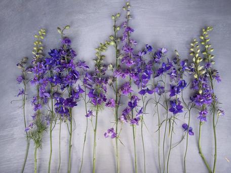 june-larkspur-black-shed-flowers.png
