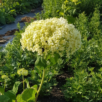 hydrangea-annabelle-black-shed-flowers.j