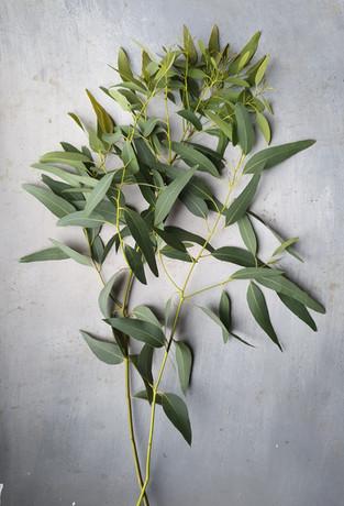 black-shed-eucalyptus-2.jpg