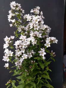 campanula-black-shed-flowers.jpg