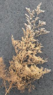 limonium-caspium-black-shed-dried-flower