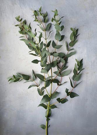 black-shed-eucalyptus-dalrympleana.jpeg