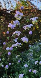thalictrum-black-shed-flowers.jpg