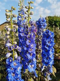 august-delphinium-black-shed-flowers.jpg