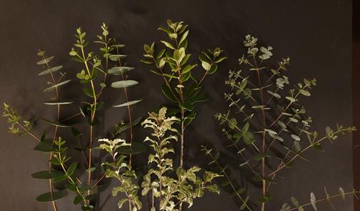 eucalyptus-foliage-black-shed-flowers.pn