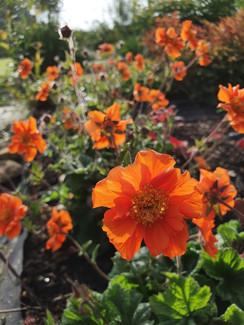 geum-totally-tangerine-black-shed-flower