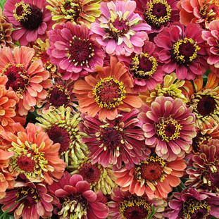 queend-red-lime-zinnias-black-shed-flowe