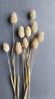 phalaris-canadensis-black-shed-dried-flo