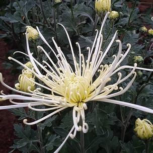 spider--chrysanthemum-black-shed-flowers