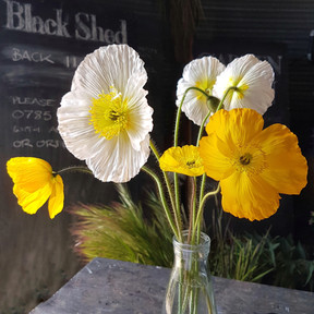 iceland-poppies-black-shed-flowers.jpg