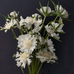 white-scabious-black-shed-flowers.jpg