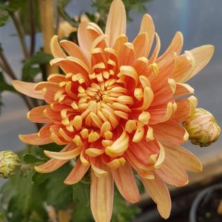 chrysanthemum-black-shed-flowerss.jpg