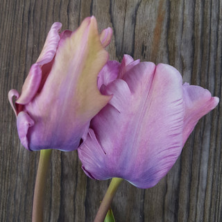 light-and-dreamy-black-shed-tulips.jpg