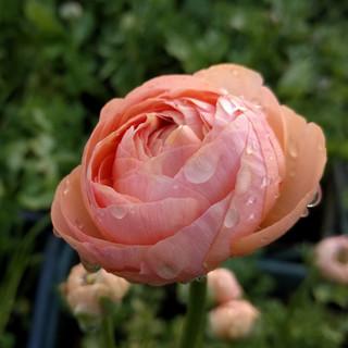 ranunculus-black-shed-cut-flowers.jpg