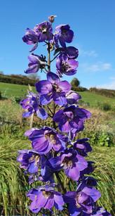 october-delphinium-black-shed-flowers.jp