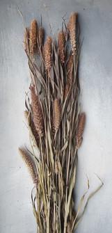 setaria-italica-black-shed-dried-flowers