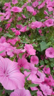 malva-trimestris-black-shed-flowers.jpg