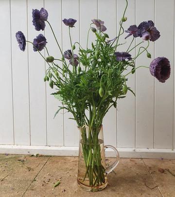 amazing-grey-poppies-black-shed-flowers.