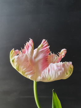 apricot-parrot-black-shed-tulips.jpg