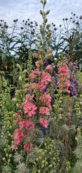 pink-larkspur-black-shed-flowers.jpg