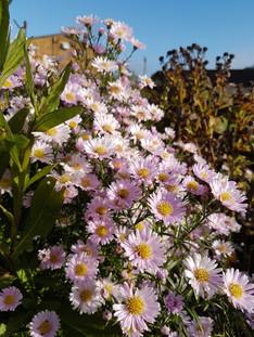chrysanthemum-innocence-black-shed-flowe