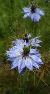 nigella-black-shed-flowers.jpg