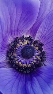 purple-anemone-black-shed-flowers.jpg