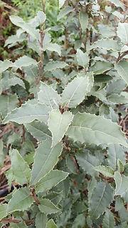 olearia-macrodonta.jpg