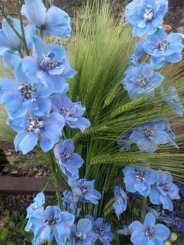delphinium-barley-black-shed-flowers.jpg