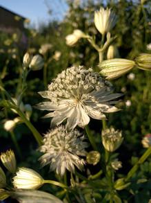 astrantia-black-shed-flowers.jpg