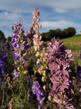 larkspur-black-shed-flowers.jpg