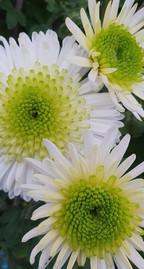 green-chrysanthemum-black-shed-flowers.j