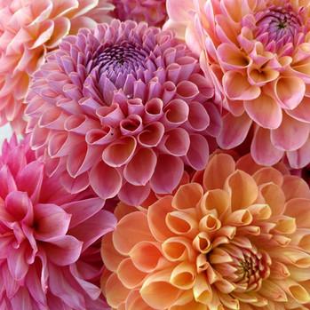 july-dahlias-black-shed-flowers.jpg