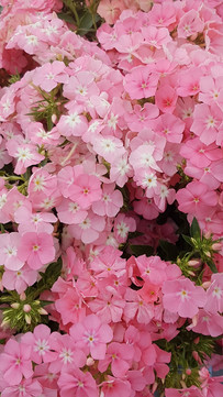 pink-phlox-black-shed-flowers.jpg