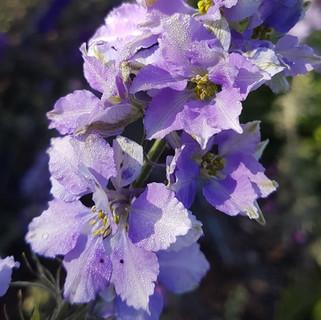 delphinium-black-shed-flowers.2.jpg